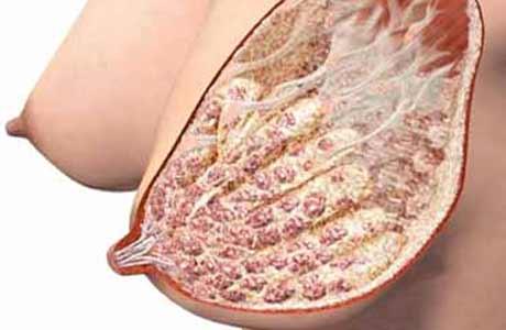 Anatomi Payudara Menyusui : Bagaimana ASI diproduksi?