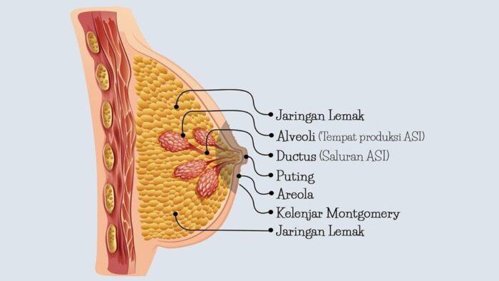 Ilustrasi anatomi payudara menyusui
